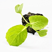 Young Chinese cabbage plant (Brassica pekinensis), on its side