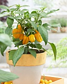 Yellow pepper plant in flowerpot