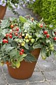 Tomato plant ('Micro Tom') in flowerpot