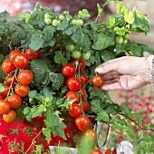 Hand picking tomato