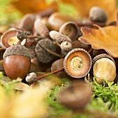 Several acorns among leaves and moss
