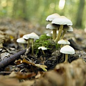 Sulphur tuft (Hypholoma fasciculare) in forest