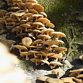 Mushrooms on tree trunk