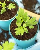 Feverfew in flowerpots