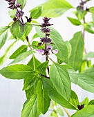 Thai basil 'Horapha' with flowers