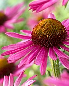 Echinacea 'Pixie' (close-up)
