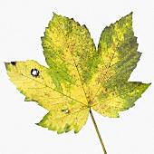 Herbstliches Blatt vom Bergahorn (Acer pseudoplatanus)