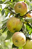 Apples (variety 'Cox's Orange Pippin') on the tree