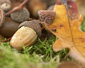 Acorns in moss (close-up)