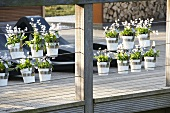 Tubergen squill (Scilla mischtschenkoana) in hanging pots on veranda