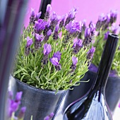 French lavender (Lavandula stoechas 'exp LBC purple')