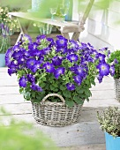 Petunia 'Sophistica Blue Morn' in basket on terrace