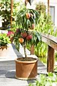 Small peach tree on terrace