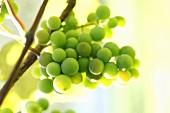 Grüne Weintrauben an der Rebe