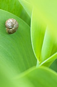 Small snail on leaf (close-up)