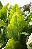 Tobacco plants (close-up)
