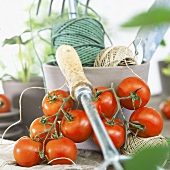 Fresh tomatoes, kitchen string and garden tool