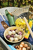 Bulbs and garden tools in wheelbarrow