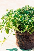 Oregano plant with root ball