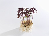 Shiso sprouts