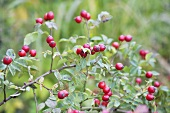 Rose hips on the bush