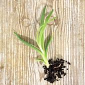 Aloe vera (offset)