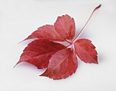 Red autumn leaf (Boston ivy)