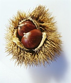 Sweet chestnuts in prickly shell