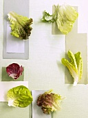 Various types of salad leaves