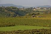 Grape-picking near Pupillin in the Jura, France