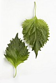 Two shiso leaves