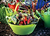 Chard in a bowl in a garden
