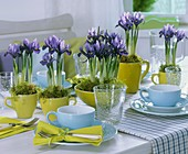 Iris reticulata in cups on laid table