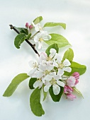Branch with apple blossom