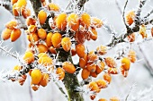 Sea buckthorn berries with ice crystals on branch