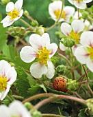 Strawberry flowers (Fragaria x ananassa)