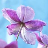 Anemone 'Hadspen Abundance'