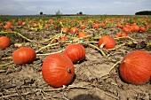 Ripe Hokkaido squashes in field in autumn