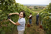 Picking Pinot noir grapes in S. Palatinate, Germany