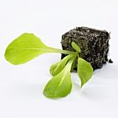 Young lettuce plant (Lactuca sativa)
