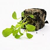 Young rocket plants (Eruca vesicaria ssp. sativa)