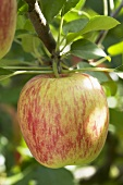 Apple, variety 'Delcorf', on the branch