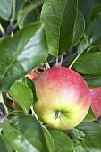 Apples, variety 'Elstar', on the branch