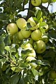 Apples, variety 'Greensleeves', on the tree