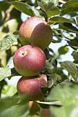 Apples, variety 'Kaiser Wilhelm', on the branch