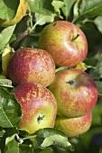 Apples, variety 'Karmijn de Sonnaville', on the tree