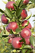 Red apples, variety 'Tonnes', on the tree