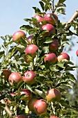 Apples, variety 'Zoete Oranje', on the tree