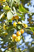 Yellow Plum Tree