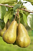 Pears, variety 'Beurre Bosc', on the branch